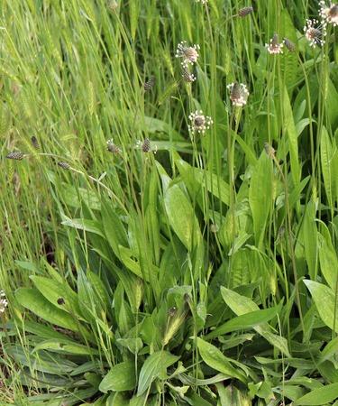 The flowering heads of ribwort plantain, plantago lanceolata. Several inflorescences in the grass,ribwort plantain is also a traditional medicinal plant.