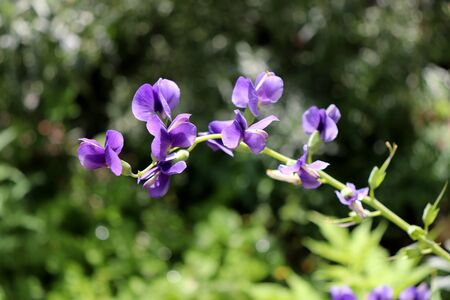 Baptisia australis, commonly known as blue wild indigo or blue false indigo in the garden,it is the seeds may be toxic.
