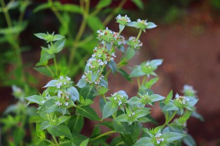 American Mint is an ornamental plant originally from the United States. The plant is characterized by green leaves, white flowers. Mint tea is used to treat colds.