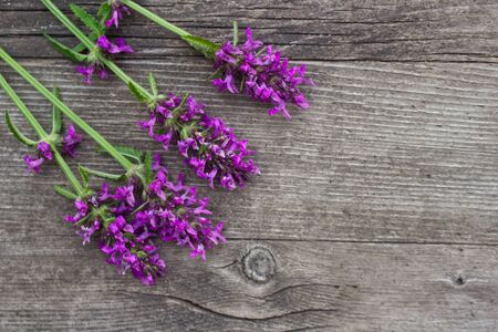 Betonica officinalis,common names betony, purple betony, common hedgenettle - flowering plant isolated on wood background. Medicinal plants, empty space for your text. Banco de Imagens