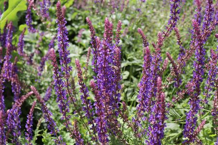 Salvia nemorosa, the woodland sage is a hardy herbaceous perennial plant native to a wide area of central Europe and Western Asia. Blurred background.