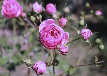 Closeup of beautiful pink rose photographed in organic garden with blurred leaves.Nature and roses concept. Standard-Bild - 129250071