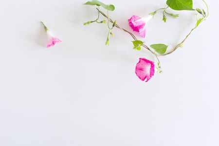 Ipomoea purpurea on white wood table. Gentle romantic background. Floral background. Top view, flat lay. Flowers, spring, summer concept.Romance and love card concept,empty space for your text.