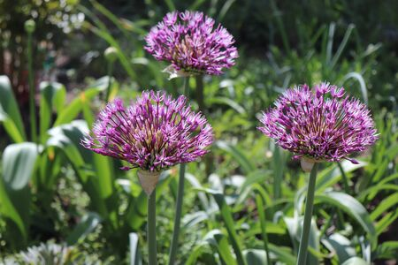 Big and round purple flowers Early emperor ornamental onion flowers allium jesdianum. Big violet bulbs. Allium are bulbous herbaceous perennials with a strong onion or garlic scent.