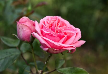 Closeup of beautiful pink rose photographed in organic garden with blurred leaves.Nature and roses concept.