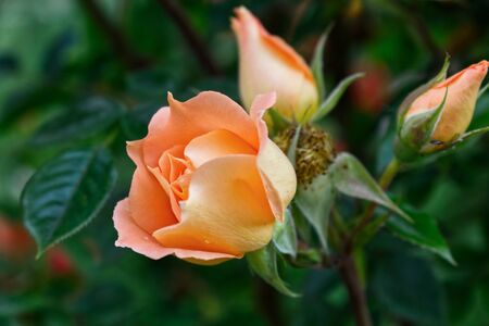 Closeup of beautiful orange rose photographed in organic garden with blurred leaves.Nature and roses concept.