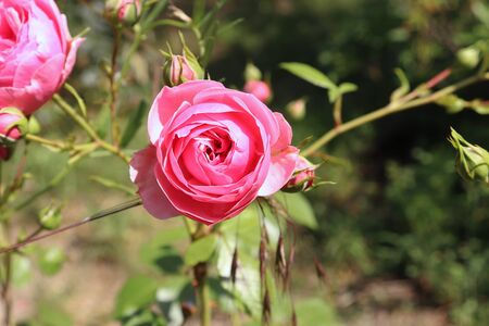 Closeup of beautiful pink rose photographed in organic garden with blurred leaves.Nature and roses concept. 版權商用圖片 - 131364592