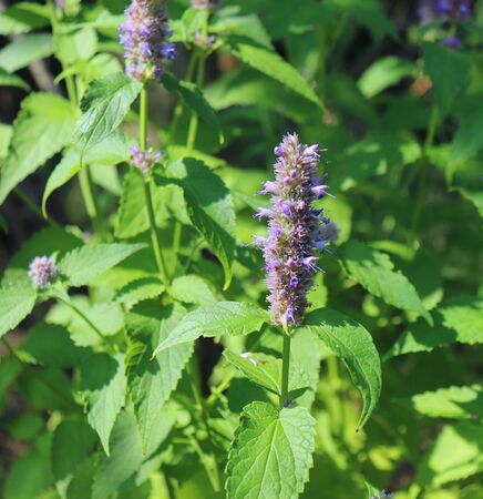 Agastache rugosa is a medicinal and ornamental plant. Commonly known as Korean Mint,herbs in the garden.