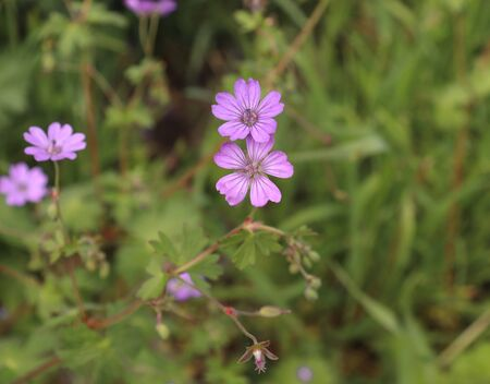 Pyrenean Geranium grows in shrubbery, lawns, fields, gardens, parks, roadside, ditches, railroads, road embankments. Flowering period, May- October,blurred background.