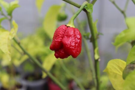 Trinidad scorpion moruga red on a plant. Capsicum chinense peppers on a green plant with leaves in home garden or a farm.Food.