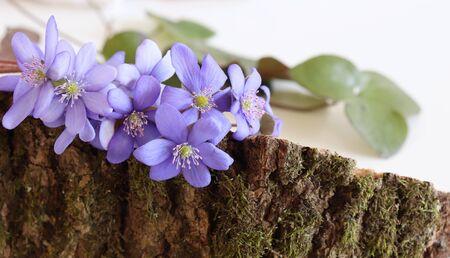 A beautiful spring bouquet, Liverwort, Hepatica nobilis flowers. Edible, healthy. Minimalism, beautiful spring wildflowers.