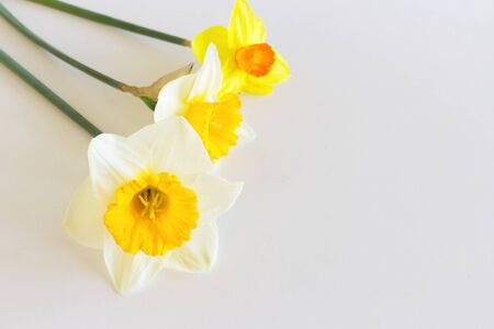 Yellow Narcissus Flowers on a light white background. Spring flowers. Congratulation floral background for greeting card.
