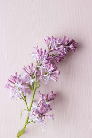 Styled stock photo. Spring feminine scene, floral composition. Bunch of beautiful blossoming purple lilac branches. Wooden pink table background. Flat lay, top view. Nature concept.