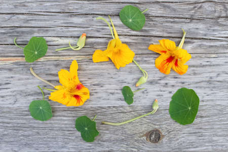 Composition of Tropaeolum majus, commonly called nasturtium, isolated on wooden background. Top view, creative flat layout. Young leaves and shoots are used as salad vegetables. Concept natural medicine.