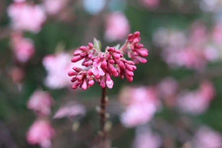 Viburnum bodnantense, the Bodnant viburnum is a substantial deciduous shrub. Early spring, the branches are clothed with fragrant pink blooms. Nature concept.