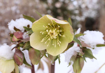 Closeup view flower Helleborus in snow. Many hellebore species are poisonous. Nature concept. Stock Photo