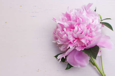 Close up of pink peony flower isolated on an abraded pink board background. Floral frame composition. Decorative web banner. Styled stock photo. Empty space, flat lay, top view.