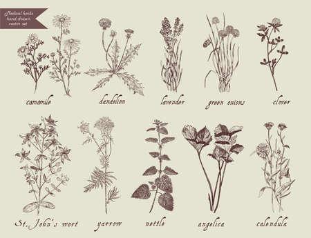 wort: Medical herbs set. Hand drawn design. Vector