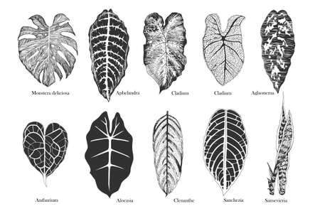 Exotic leaves vector set. Black and white.