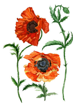 Hnad drawn watercolor set with poppies. On white.