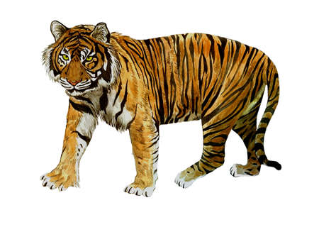 Sumatrian endangerd tiger watercolor illustration hand drawn 스톡 콘텐츠