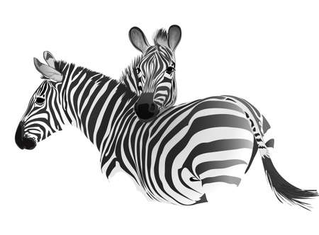 Zebras. Vector drawing. Isolated object.