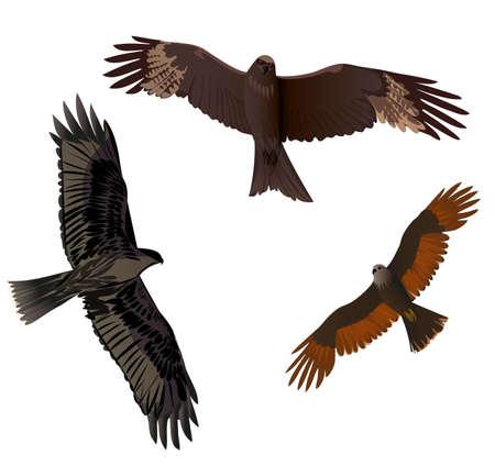 spread wings: Birds of prey in flight with spread wings