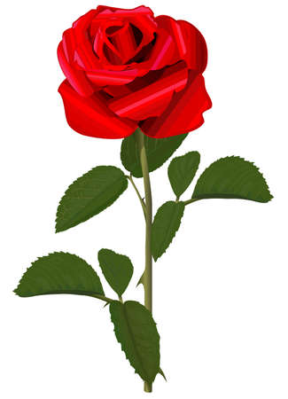 red rose: Red rose with green leaves Illustration