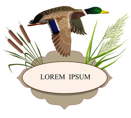 Flying duck frame reed hunting Illustration
