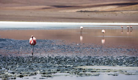 flamingo on salt lake in Bolivia Stock Photo - 13689976