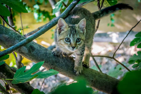 Tabby kitten on tree branch. A frightened little cat hangs on the branch of a fig tree. Stock Photo