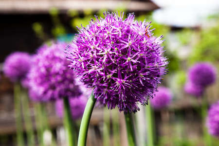 grown up: blossoming garlic in a spring season. it is grown up for receiving seeds