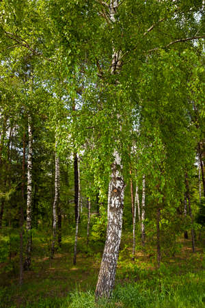 a small birch grove in the summer. photo