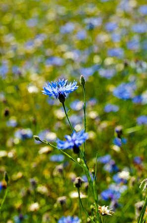 bluet: flower cornflower, cornflower growing in the field. Close-up. Stock Photo