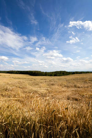 non cultivated: Agricultural field on which grow ripe wheat. Stock Photo