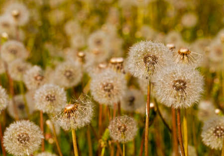 tuft: White dandelions -  a white tuft. close up Stock Photo