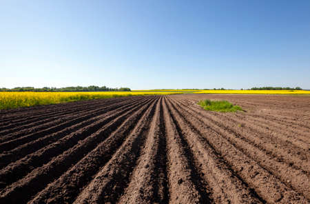 plowed agricultural field. Near growing canola. Blue sky.