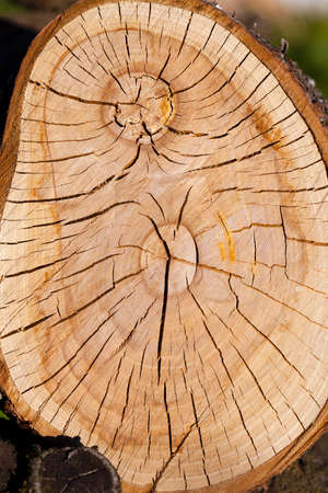 sawn: the sawn tree photographed by a close up