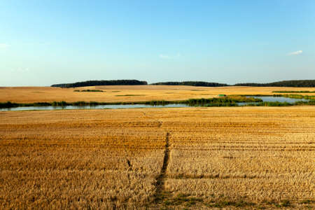 non cultivated land: a narrow path in the agricultural field, which is tapered wheat. In the background to harvest.