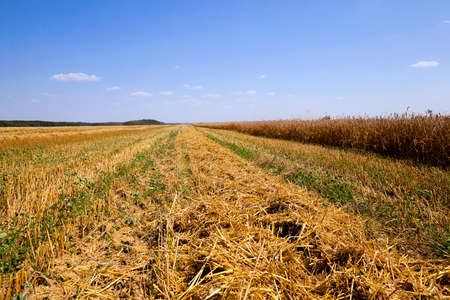 an agricultural field on which carry out wheat cleaning
