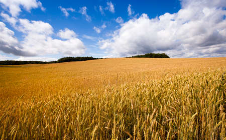 non cultivated land: Agricultural field on which grow ripe wheat. Stock Photo