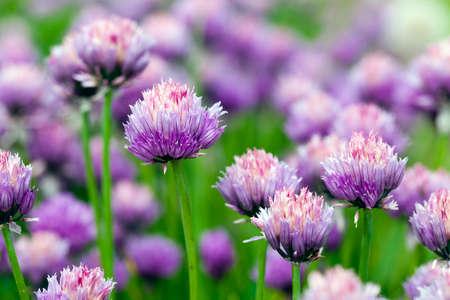 近くに、写真を撮るニンニクの花