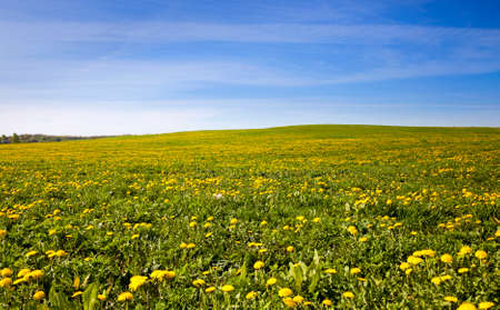 dandelion: field on which grows a lot of dandelions . Stock Photo