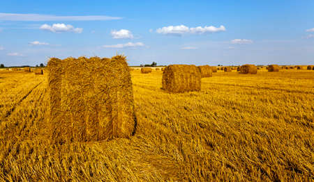 agricultural field on which grow up also the harvest  wheat photo