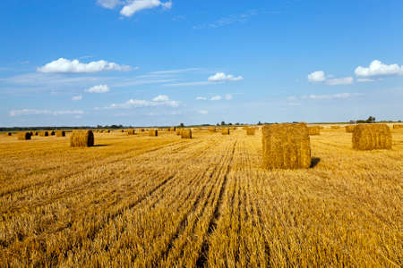 an agricultural field on which grow up also the harvest  wheat photo