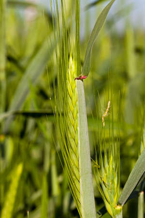 cereal ear: the ear of an unripe cereal photographed by a close up