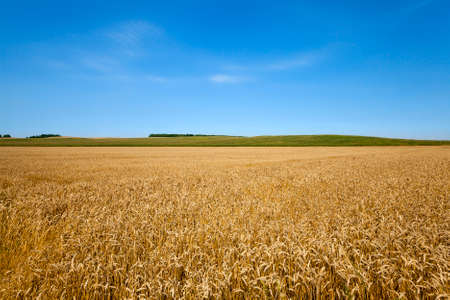 non cultivated: a field on which mature wheat grows.