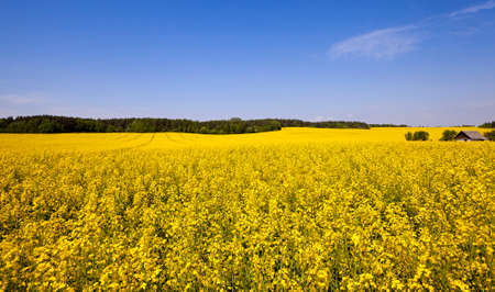 non cultivated: an agricultural field in which rape blossoms. Blue sky.