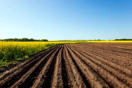 農業菜種とジャガイモが成長のフィールド 写真素材