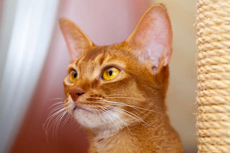 abyssinian cat: the head of an Abyssinian cat photographed by a close up